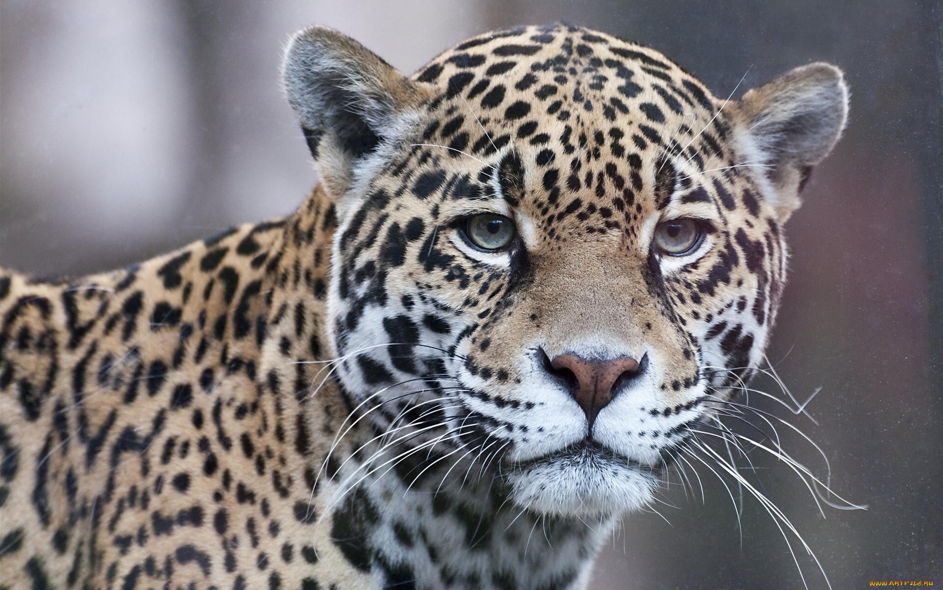 доброкачественное образования, самые красивые фото ягуара самая преданная поклонница